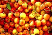 Rainier Cherries Are Perfect Treat When Visiting The Seattle, Washington Area.  These Organically Gr poster