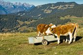 Swiss Cows