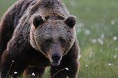 Big Male Bear At Close