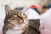 Pretty Tabby Cat Lying On The Bed And Looking At Camera poster