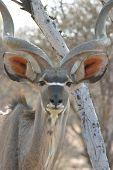 Retrato de hombre Kudu