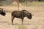 Ñu africano del sur