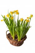 Daffodils Boquet In The Basket