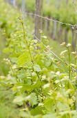 Closeup Of Grape Vine Leaves