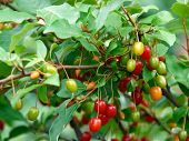 Cherry Silverberry Berries On Bush