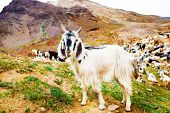 Black and white goats in the mountains