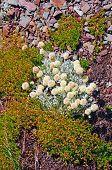 Tundra plantas numa encosta de Scree