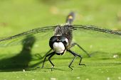 Male Dot-tailed Whiteface (Leucorrhinia intacta) Dragonfly on a Water Lily Leaf  - Pinery Provincial