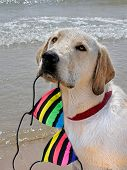 retriever with bikini top