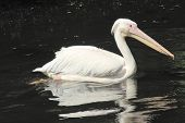 Close Up Of  White Pelican, Pelecanus Occidentalis