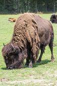 North American Bison 1