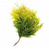Thuya Branch