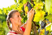 Woman, winegrower,  picking grapes with shear at harvest time in the sunshine