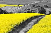 stock photo of rape-seed  - Shining yellow oilseed rape fields in a black and white landscape - JPG