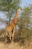 Giraffe Fütterung