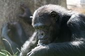 Chimpanzee Looking Down poster