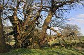 Tortworth Chestnut Tree