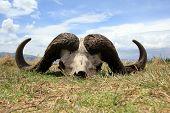 Cape Buffalo Skull In Ngorongoro Crater Tanzania