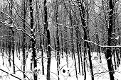 Black And White Winter Wood