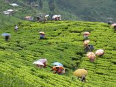 stock photo of darjeeling  - Workers pick tea leaves at a plantation in Darjeeling India.