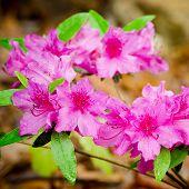 Rosa Azaleen blühen im Frühjahr