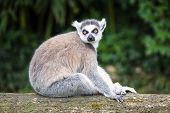 Ring-tailed Lemur In Forest