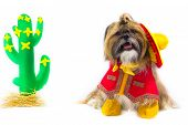 stock photo of gaucho  - Dressed as a gaucho a Shih Tzu wears a sombrero vest neckerchief and boots - JPG