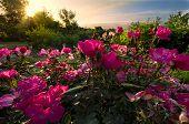 Pink Roses At Dawn