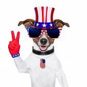 Cão americano de EUA