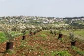 picture of samaria  - Cultivation of olive trees in the area of Shomron  - JPG