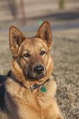 Watchful german shepherd