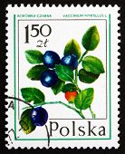 Postage Stamp Poland 1977 Bilberry, Forest Fruit