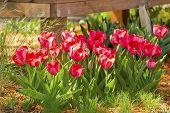 Shrub Tulips In The Garden