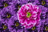 Pink Dahlia In Violet Background