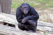 Chimpanzee (pan Troglodytes) Sitting