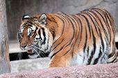 Siberiano Tigre (panthera Tigris Altaica) Walking