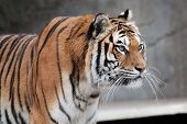 Siberian Tiger (panthera Tigris Altaica) Looking