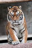 Siberiano Tigre (panthera Tigris Altaica) Approaching
