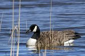 An adult Canada Goose (Branta canadensis) swimming amonst reeds.
