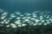 pic of yellowfin tuna  - Big school of Mackerel Fish underwater - JPG