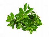 picture of origanum majorana  - Bunch of marjoram isolated on White background - JPG