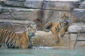 Filhotes de tigre de dois