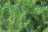 stock photo of pinus  - Background of pine needles - JPG