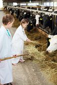 Boy with pitchfork and little girl in white robes holds hay for cows in long stall. Focus on boy.
