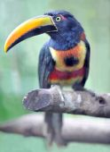 Fiery Billed Aracari 1