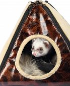 picture of ferrets  - Young sable ferret sticking out of the house - JPG