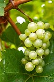 Grape On The Vine