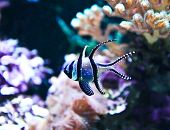Banggai Cardinalfish In A Aquarium (pterapogon Kauderni)