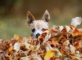 a cute chihuahua in a pile of leaves