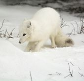 pic of arctic fox  - An arctic fox in the snow near Churchill - JPG